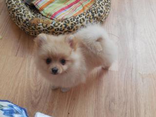 ,Trpaslici spic/ Pomeranian