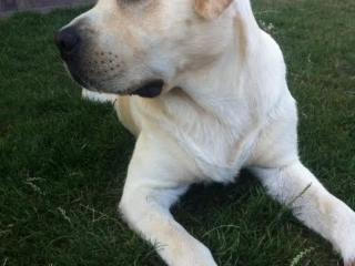 ,Labrador krytie