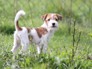 ,Jack Russel terrier s PP