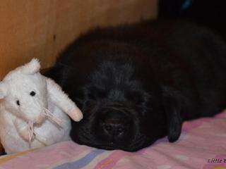,Šteniatka labradorov s preukazom pôvodu čiernej a čokoládovej farby !!!