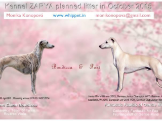 , Whippet puppies