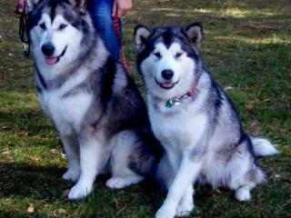 ,Predáme šteniatka Aljašského malamuta s PP