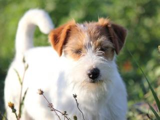 ,Jack Russel terrier s PP - sučka - maznáčik