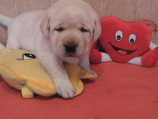 ,žlté šteniatka labradora s PP