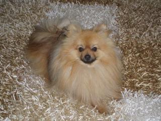 ,Ponúkam na krytie Pomeranian
