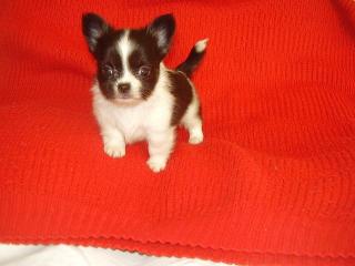 ,Čivava  biela     - mini  psík TOP