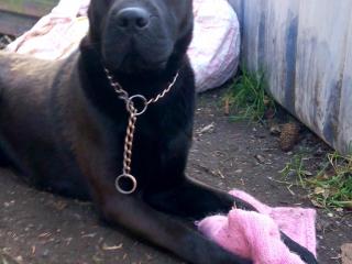 ,Darujeme krasneho čierneho psa