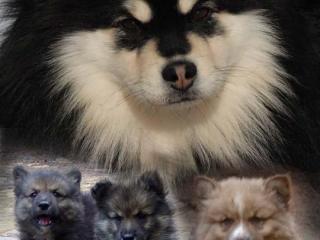 ,štěňátka Finského laponského psa s PP (Lapinkoira)