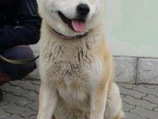 ,Akita Inu | Pes | Na krytie