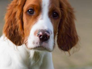 ,Írsky červeno-biely seter - šteňatá
