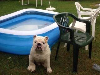 ,Anglický bulldog