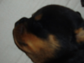 ,ROTVAJLER, ROTTWEILER šteniatka s PP