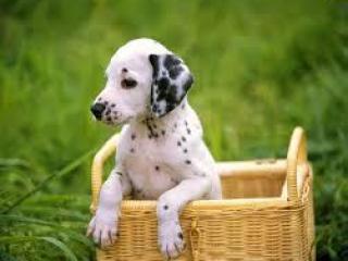 ,Kúpim šteniatko Dalmatínca