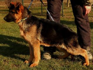 ,Nemecký ovčiak s PP- šteniatka na predaj