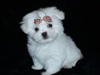 ,Rozkošný Maltskej šteňatá pre prijatie