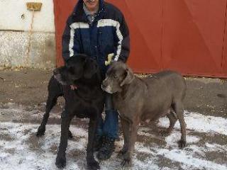 ,Prodej štěňat německá doga