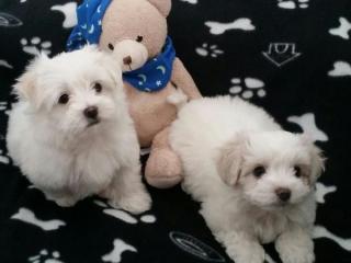 ,Dva šálka maltskej šteňatá potrebuje novú rodinu
