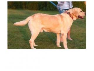 ,Labrador