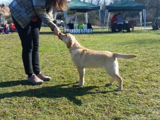,Labrador retriever - žltý psík s PP