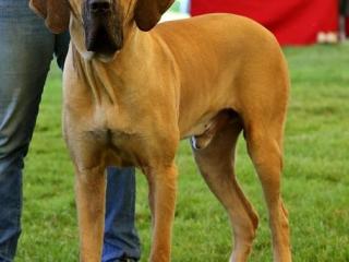 ,Darujem - pes brazilská fila s PP 4 ročný