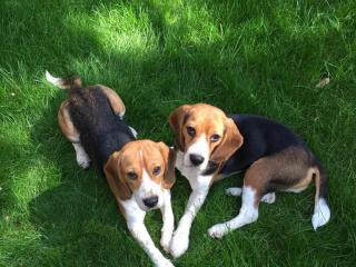 ,Beagle 2 x suky