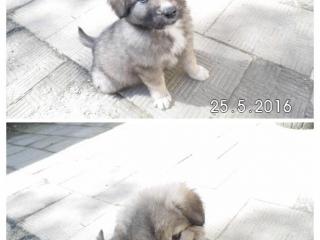 ,Kaukazský ovčiak-šteniatko