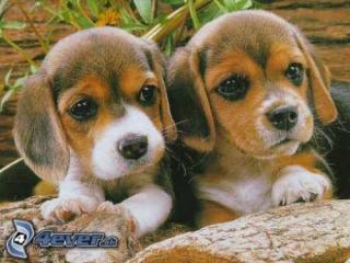 ,Postrážim a vyvenčím malého psíka v Bratislave