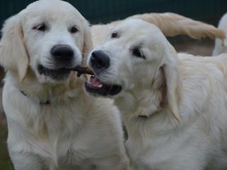 ,Zlatý retriever šteniatka