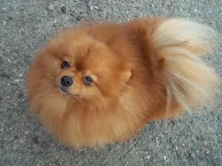 ,Pomeranian pes na predaj