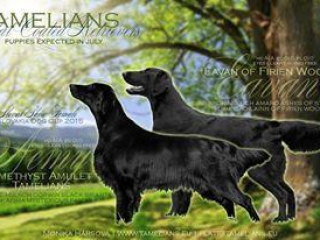 , Šteniatka Flat Coated Retriever s PP