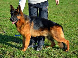 ,Nemecký ovčiak-Pes na krytie