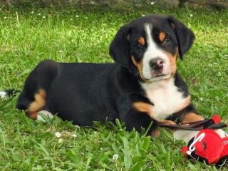 ,Velký švýcarský salašnický pes s PP