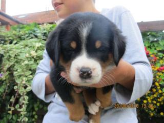 ,Veľký švajčiarsky salašnícky pes - štěniatka s PP