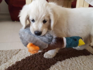 ,  Šteniatka Golden retriever s PP