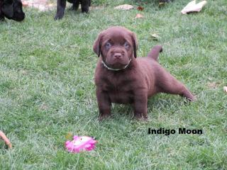 ,Labrador retriever šteniatka s PP