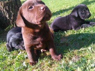 ,Predám čistokrvné šteniatka Labradora bez PP