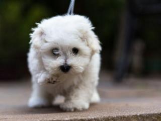 ,Bolonský psík na predaj s pp