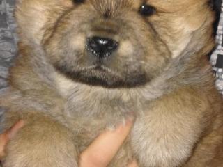 ,Predám šteniatka Čau-Čau