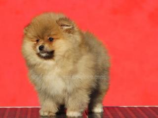 ,Boo Pomeranian Spitz šteňatá
