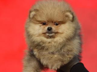 ,Boo Pomeranian šteňatá