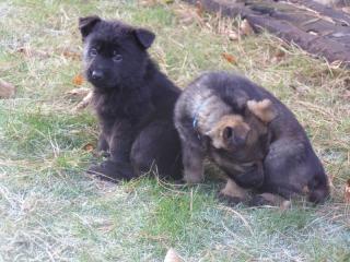 ,Štěňátka německých ovčáků s výborným rodokmenem