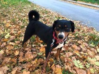 ,Appenzelský salašnícky pes