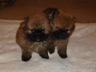 ,Pomeranian trpasličí špic