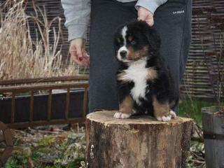 ,Bernský salašnícky pes šteniatka