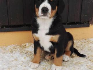 ,Entlebušský salašnícky pes
