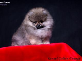,Pomeranian- prodám štěňátka s PP