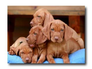 ,Predáme čistokrvné šteniatka maďarskej vyžly