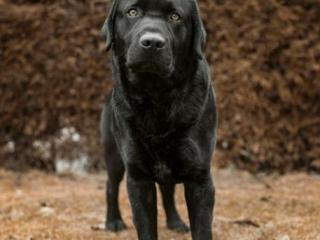,Labradorský retriever čiernej farby