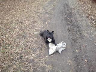 ,ponuka psa staffordshirsky bulterier