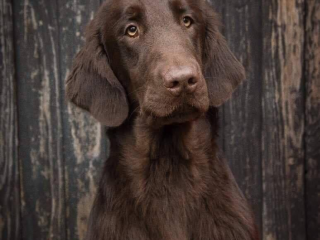 , Stěňátka Flat Coated Retriever